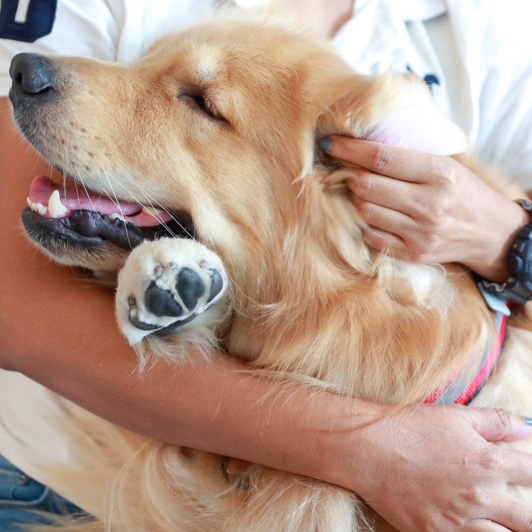 hands holding and petting a large golden retriever's head
