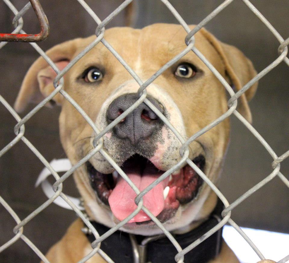 happy pitbull smiling at camera in shelter